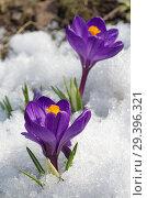 Купить «Фиолетовые крокусы (лат. Crocus) цветут весной», фото № 29396321, снято 16 апреля 2018 г. (c) Елена Коромыслова / Фотобанк Лори