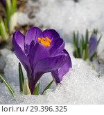 Цветущий фиолетовый крокус (лат. Crocus) в снегу крупным планом. Стоковое фото, фотограф Елена Коромыслова / Фотобанк Лори