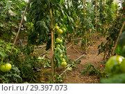 Купить «Growing tomatoes in greenhouse», фото № 29397073, снято 21 апреля 2019 г. (c) Яков Филимонов / Фотобанк Лори