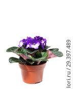Купить «Purple Saintpaulia in the pot», фото № 29397489, снято 4 ноября 2018 г. (c) Юлия Кузнецова / Фотобанк Лори