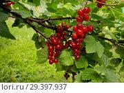 Купить «Лето, ягоды красной смородины», фото № 29397937, снято 13 июля 2018 г. (c) Александр Романов / Фотобанк Лори