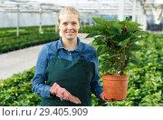 Купить «Young woman gardener in gloves working with euphorbia pulcherrima in pots», фото № 29405909, снято 3 октября 2018 г. (c) Яков Филимонов / Фотобанк Лори