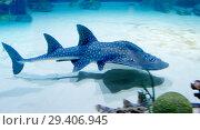 Купить «Акулий скат (bowmouth guitarfish)», фото № 29406945, снято 8 ноября 2018 г. (c) Галина Савина / Фотобанк Лори