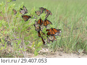 Купить «Monarch butterfly (Danaus plexippus). Butterflies rest during a trip to wintering grounds. Texas Gulf Coast.», фото № 29407053, снято 10 ноября 2018 г. (c) Ирина Кожемякина / Фотобанк Лори