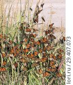 Купить «Monarch butterfly (Danaus plexippus). Butterflies hid from a strong wind behind a tuft of grass while traveling to wintering grounds. Texas Gulf Coast», фото № 29407073, снято 10 ноября 2018 г. (c) Ирина Кожемякина / Фотобанк Лори