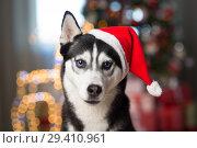 Купить «dog under the christmas tree at home», фото № 29410961, снято 30 октября 2018 г. (c) Типляшина Евгения / Фотобанк Лори