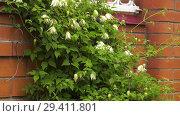 Купить «Цветущий клематис. Flowering clematis.», видеоролик № 29411801, снято 12 ноября 2018 г. (c) Евгений Романов / Фотобанк Лори