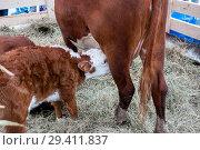 Купить «Brown calf sucks a cow udder», фото № 29411837, снято 8 сентября 2018 г. (c) Катерина Белякина / Фотобанк Лори