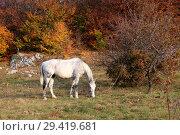 Купить «White horse grazes near the autumn forest», фото № 29419681, снято 19 октября 2018 г. (c) Яна Королёва / Фотобанк Лори