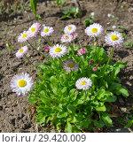 Купить «Маргаритки (лат. Bellis perennis) цветут в саду», фото № 29420009, снято 15 мая 2018 г. (c) Елена Коромыслова / Фотобанк Лори