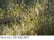 Купить «Background of green fresh grass with dew in the morning», фото № 29420601, снято 16 ноября 2018 г. (c) Владимир Пойлов / Фотобанк Лори