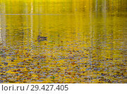 Купить «Утки плавают по пруду осенью», фото № 29427405, снято 18 октября 2018 г. (c) Natalya Sidorova / Фотобанк Лори