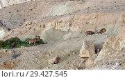 Купить «Nubian ibex (Capra nubiana sinaitica)  in Sde Boker. Fighting old males in mountains. Negev desert of southern Israel», фото № 29427545, снято 15 августа 2018 г. (c) Валерия Попова / Фотобанк Лори