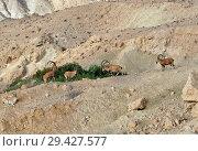 Купить «Nubian ibex (Capra nubiana sinaitica)  in Sde Boker. Fighting old males. Negev desert of southern Israel in summer», фото № 29427577, снято 15 августа 2018 г. (c) Валерия Попова / Фотобанк Лори