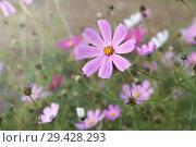 Купить «Розовые и белые цветы космеи в саду. Однолетние цветы», фото № 29428293, снято 26 августа 2018 г. (c) Наталья Осипова / Фотобанк Лори