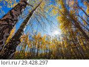 Купить «Пейзаж с берёзовой рощей в лучах осеннего солнца. Новосибирская область, Западная Сибирь, Россия», фото № 29428297, снято 7 октября 2018 г. (c) Евгений Мухортов / Фотобанк Лори
