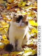 Купить «Кошка на улице осенью среди опавших листьев», фото № 29430725, снято 14 октября 2018 г. (c) Елена Коромыслова / Фотобанк Лори