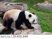 Купить «Большая панда (белая панда)», фото № 29430849, снято 7 ноября 2014 г. (c) Галина Савина / Фотобанк Лори
