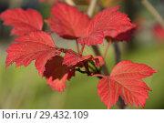Купить «Калина обыкновенная, или Калина красная (лат. Viburnum opulus) осенью», эксклюзивное фото № 29432109, снято 6 ноября 2018 г. (c) lana1501 / Фотобанк Лори