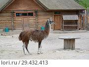 Купить «Лама (Lama glama Linnaeus) на фоне  деревянного домика. Калининградский зоопарк», фото № 29432413, снято 8 мая 2016 г. (c) Ирина Борсученко / Фотобанк Лори