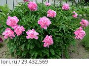 Купить «Куст розовых  пионов (Paeonia L.)», фото № 29432569, снято 1 июня 2016 г. (c) Ирина Борсученко / Фотобанк Лори