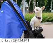 Купить «Собака сидит в детской коляске», фото № 29434941, снято 24 июня 2018 г. (c) Вячеслав Палес / Фотобанк Лори