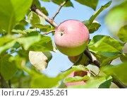 Купить «Одно спелое большое красное яблоко на ветке яблони на фоне голубого неба. Солнечный летний день (крупный план)», фото № 29435261, снято 20 августа 2018 г. (c) E. O. / Фотобанк Лори