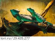 Two basilisk lizards are resting on a log in a terrarium. Стоковое фото, фотограф Евгений Харитонов / Фотобанк Лори