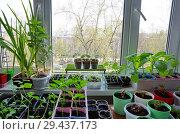 Купить «Рассада овощей и цветов в комнате на окне весной», эксклюзивное фото № 29437173, снято 2 мая 2018 г. (c) Елена Коромыслова / Фотобанк Лори