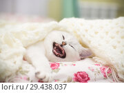 Купить «A beautiful young cat, breed Scottish chinchilla straight, lying in bed under», фото № 29438037, снято 17 ноября 2018 г. (c) Peredniankina / Фотобанк Лори
