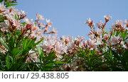 Купить «beautiful oleander bush sways in strong wind», видеоролик № 29438805, снято 3 ноября 2018 г. (c) Володина Ольга / Фотобанк Лори