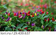Купить «Beautiful multicolored fruits of decorative pepper», видеоролик № 29439637, снято 3 ноября 2018 г. (c) Володина Ольга / Фотобанк Лори