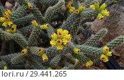 Купить «A Beautiful cactus with an yellow flowers», видеоролик № 29441265, снято 5 ноября 2018 г. (c) Володина Ольга / Фотобанк Лори