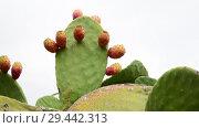 Купить «Beautiful prickly pear cactus on sky background», видеоролик № 29442313, снято 5 ноября 2018 г. (c) Володина Ольга / Фотобанк Лори