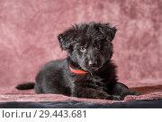 Купить «6 weeks old long-haired black German shepherd puppies studio portrait on coloured background», фото № 29443681, снято 9 октября 2018 г. (c) Julia Shepeleva / Фотобанк Лори