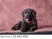 Купить «6 weeks old long-haired black German shepherd puppies studio portrait on coloured background», фото № 29443689, снято 9 октября 2018 г. (c) Julia Shepeleva / Фотобанк Лори