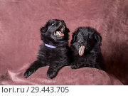 Купить «6 weeks old long-haired black German shepherd puppies studio portrait on coloured background», фото № 29443705, снято 9 октября 2018 г. (c) Julia Shepeleva / Фотобанк Лори