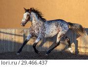 Купить «Помесь Андалузской лошади и Аппалуза. Уникальный образец чубарой масти.», фото № 29466437, снято 21 ноября 2018 г. (c) Абрамова Ксения / Фотобанк Лори