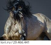 Купить «Портрет буланой испанской лошади в движении», фото № 29466441, снято 16 мая 2017 г. (c) Абрамова Ксения / Фотобанк Лори