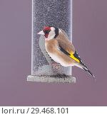 Купить «A Goldfinch (Carduelis carduelis) in freezing conditions in a Norfolk garden.», фото № 29468101, снято 2 марта 2018 г. (c) age Fotostock / Фотобанк Лори