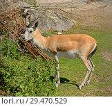 Купить «Persian gazelle (Gazella subgutturosa subgutturosa). Male», фото № 29470529, снято 18 июля 2018 г. (c) Валерия Попова / Фотобанк Лори