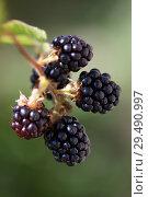 Купить «Ripe blackberries hanging on a brancha», фото № 29490997, снято 29 августа 2018 г. (c) Алексей Кузнецов / Фотобанк Лори