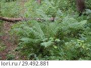 Купить «Валдайский заповедник. Папоротник в лесу», фото № 29492881, снято 28 июля 2006 г. (c) Дмитрий Щукин / Фотобанк Лори