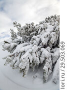 Купить «Frosted branches of fir tree», фото № 29503069, снято 5 января 2015 г. (c) Юлия Кузнецова / Фотобанк Лори