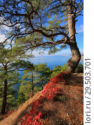 Купить «Beautiful natural landscape with pine trees and red leaves against the background of the sea», фото № 29503701, снято 28 октября 2016 г. (c) Яна Королёва / Фотобанк Лори
