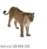 Купить «Asiatic lioness (Panthera leo persica) on white background. Female», фото № 29504125, снято 30 ноября 2018 г. (c) Валерия Попова / Фотобанк Лори