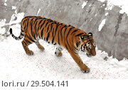 Купить «Siberian tiger (P. t. altaica), also known as Amur tiger in winter», фото № 29504141, снято 30 ноября 2018 г. (c) Валерия Попова / Фотобанк Лори