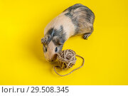 Smooth-haired guinea pig beige-black color plays with a ball on a yellow background. Стоковое фото, фотограф Катерина Белякина / Фотобанк Лори