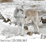 Купить «Tundra wolf (Canis lupus albus), also known as Turukhan wolf in winter. Male», фото № 29508961, снято 30 ноября 2018 г. (c) Валерия Попова / Фотобанк Лори