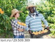 Купить «Couple harvesting peaches», фото № 29509389, снято 12 июля 2018 г. (c) Яков Филимонов / Фотобанк Лори